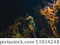 Seahorse in Aquarium 53934248