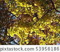Ginkgo (yellow) wood stock photo 53956186
