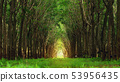 Tree tunnel in rubber plantation, Phuket, 53956435