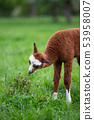 Young Alpaca eating grass 53958007