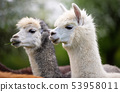 Portrait of two Alpacas, South American mammals 53958011