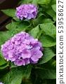 雨繡球花 53958627