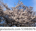 Cherry tree (beautiful photo with blooming flowers) 53960676