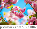 Beautiful spring cherry blossom bloom sunny day 53973087