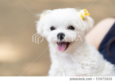 馬耳他寵物 53973920