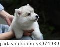 西伯利亚哈士奇犬小狗 53974989