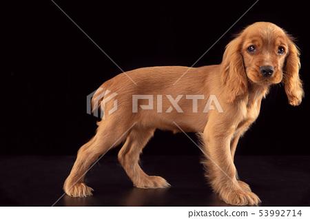 Studio shot of english cocker spaniel dog isolated on black studio background 53992714