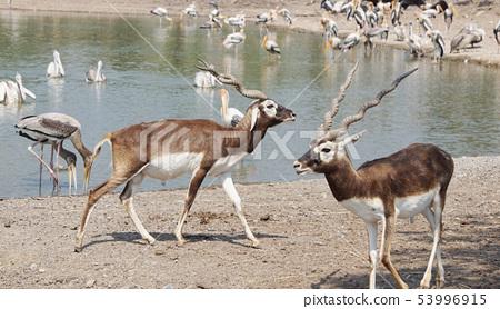 The Blackbuck deer standing in front of the lake. 53996915