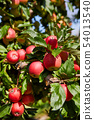 picture of a Ripe Apples in Orchard ready for 54013540