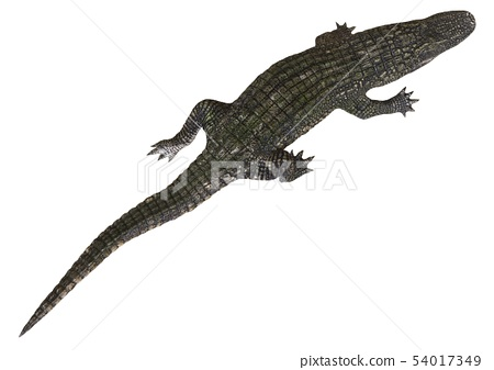 A reference image Alligator isolated on white background 3d illustration 54017349