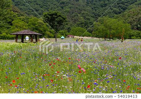 들판의 양비귀꽃 전경 ( 한국, 전주 )  54019413