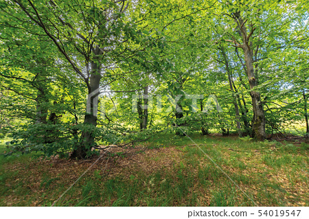 inside the beech forest on a sunny summer day 54019547
