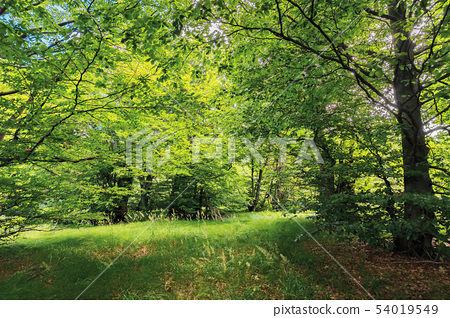 inside the beech forest on a sunny summer day 54019549