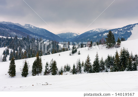 spruce trees on snowy rural hillside in mountains 54019567