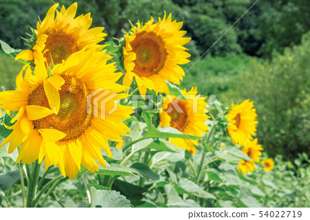 sunflowers in the field 54022719