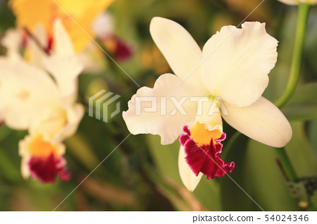 綻放的蝴蝶蘭花 54024346