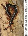 동물 절지 동물 왕지네 머리를 숨겼다 자신있는 포즈. 실수로 꼬리를 잡으면 큰일 ... 54035989
