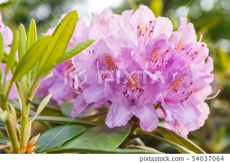 Blooming pink rhododendron with green leaves 54037064