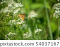부추 꽃에 네발 나비 나비 54037167