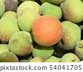我收穫了加賀李子水果。 54041705