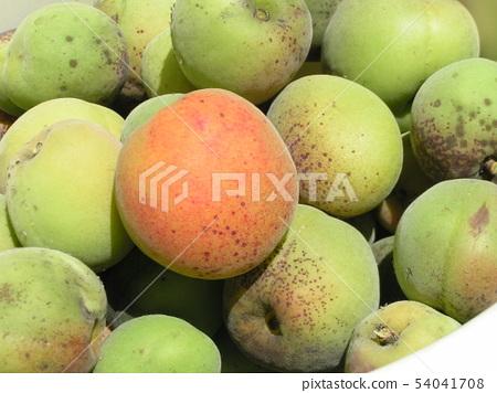 我收穫了加賀李子水果。 54041708