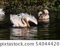 Great White Pelican, Pelecanus onocrotalus in the zoo 54044420