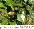 白色开花的桑树莓果 54050915
