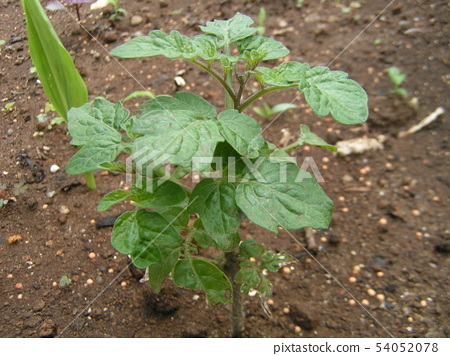 Seedling of mini tomato in kitchen garden 54052078
