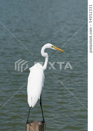 The egret standing on the edge of the lake.  54052331