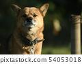 狗狗品種年黃道帶黃道帶動物愛犬狗狗服務狗有機體寵物 54053018