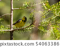 Canadian warbler in the forest of Pukaskwa 54063386