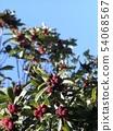 很多成熟的红色水果yamamomo 54068567