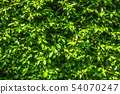 Green leaves natural wall background texture. 54070247