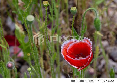 양비귀꽃의 접사 상세 뷰( 아웃 포커스 이미지 ) 54075622