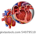Heart Anatomy Concept 54079510