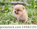 Cute puppy cream Pomeranian on the street.  54082193