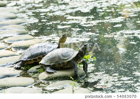 Turtle in the lake. Turtles are long-lived. 54083070
