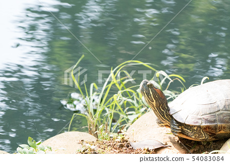 Turtle in the lake. Turtles are long-lived. 54083084