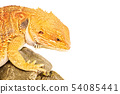 Focused bearded dragon 54085441