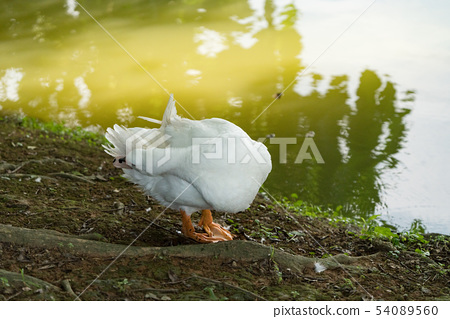 Goose in the lake. Geese are long-lived aquatic. 54089560