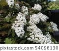 橡木八仙花属白花与类似桑树叶子的叶子的 54096130