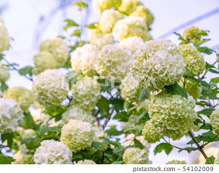 Lush white flowers of viburnum roseum. 54102009