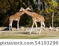 The giraffe, Giraffa camelopardalis is an African mammal 54103296