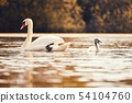 Beautiful swans with cubs on a pond. Nature 54104760