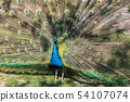 Indian Peacock or Blue Peacock, Pavo cristatus in the zoo 54107074