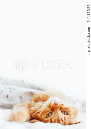 Cute ginger cat lying in bed.Fluffy pet,copy space 54111388