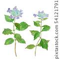 꽃받침 수국 Hydrangea 수채화 54121791
