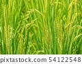 Minuma rice field summer grown rice 54122548