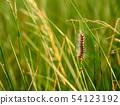 Sorrel caterpillar in grass 54123192