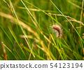 Sorrel caterpillar in grass 54123194